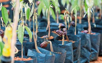 榴槤夢園計劃 人人可擁有榴槤樹