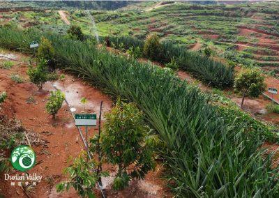 Plantation_DV-10