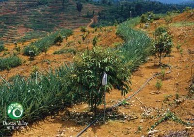 plantation-07